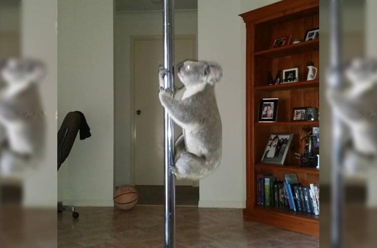 家に帰ったら野良コアラがいた。しかもポールダンス用のポールに登っていた。