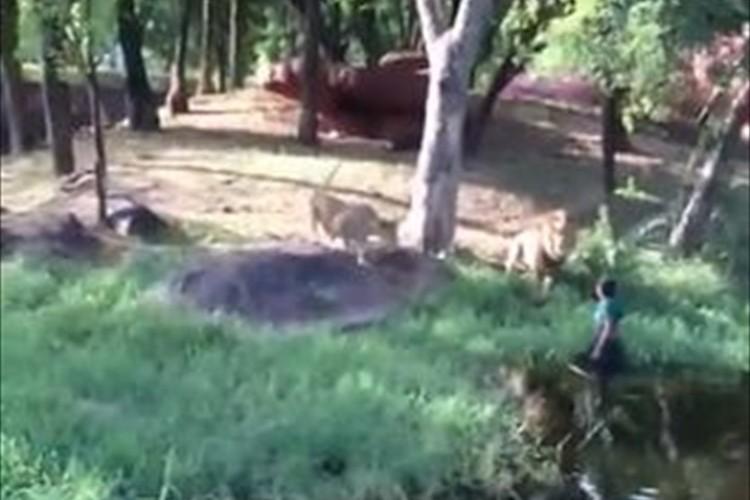 【動画】動物園のライオン舎に酔っ払いの男が侵入する騒動が発生! 非難の声多数