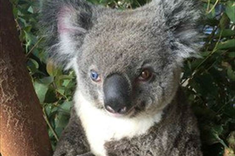 左右の瞳の色が異なるコアラ! それが理由で世界的ロックスターの名がつけられる!