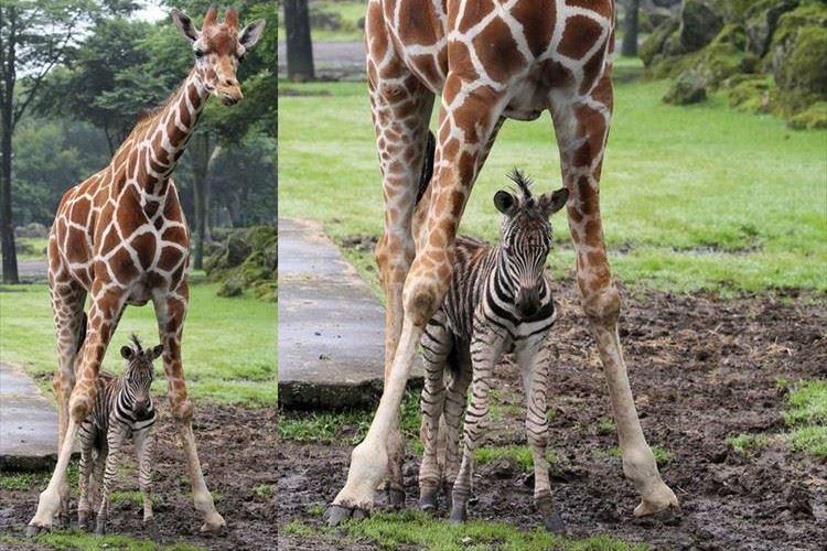 「なんて優しいんだ」突然の雨 シマウマの赤ちゃんを守るためのキリンの行動