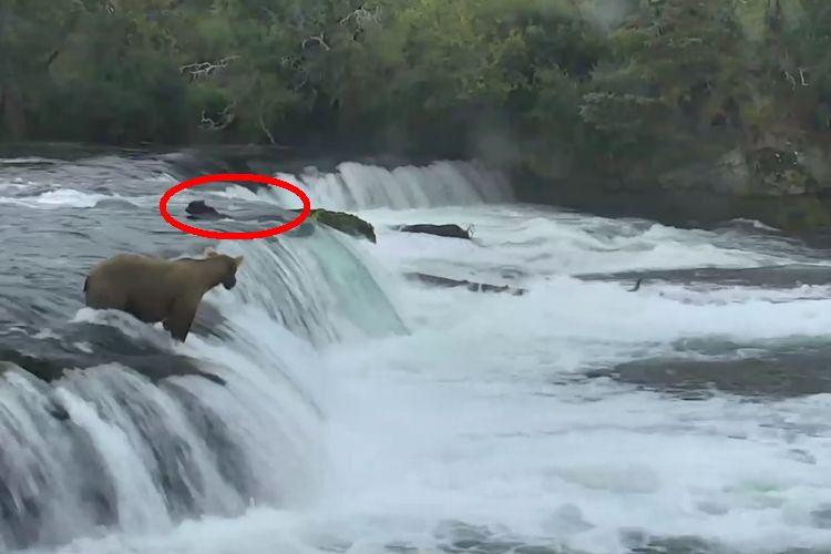 川に流された我が子を救うため、とっさの判断で助けに行く母熊の行動に愛を感じる