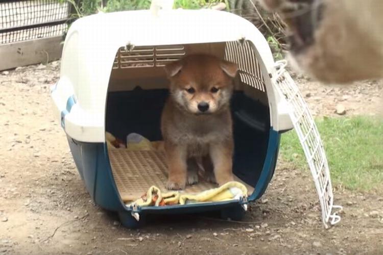 【動画】生後45日の柴犬の子どもが初めてのお庭♪17歳のお婆ちゃん犬が優しく連れ出してくれる