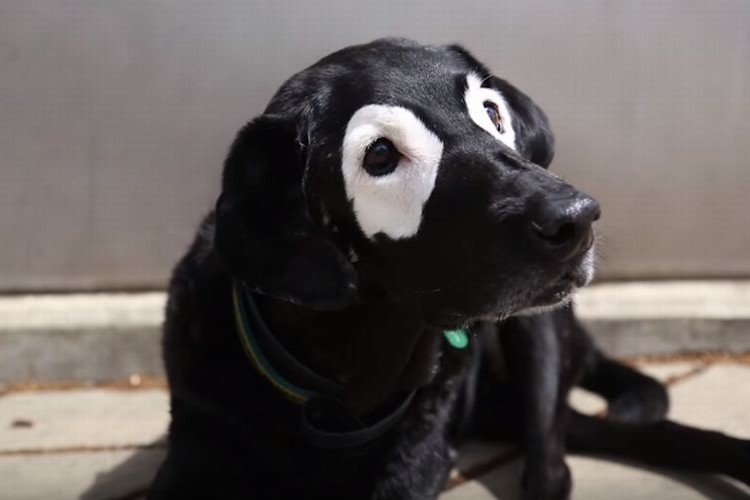 逆パンダみたい!目の周りが白いラブラドール・レトリバーがかわいい!