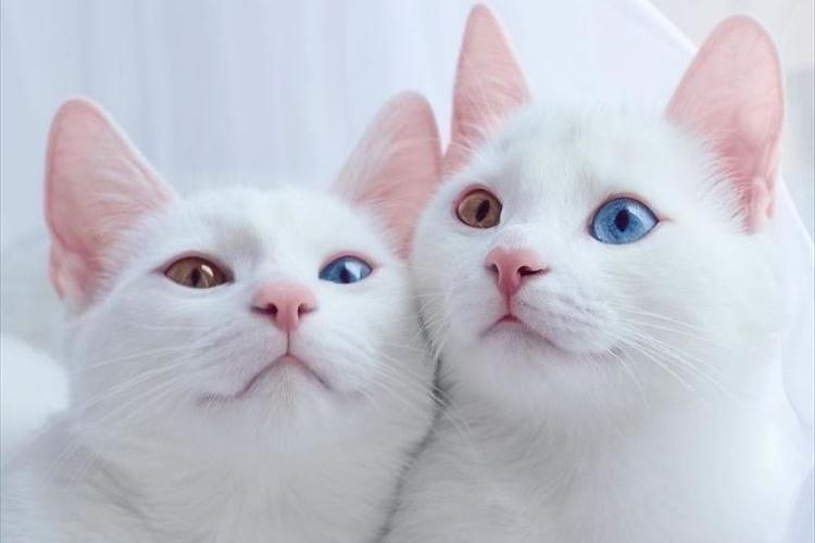 何たる神々しさ…違った色の両目を持つ双子の白猫たちが、あまりに気高く美しい