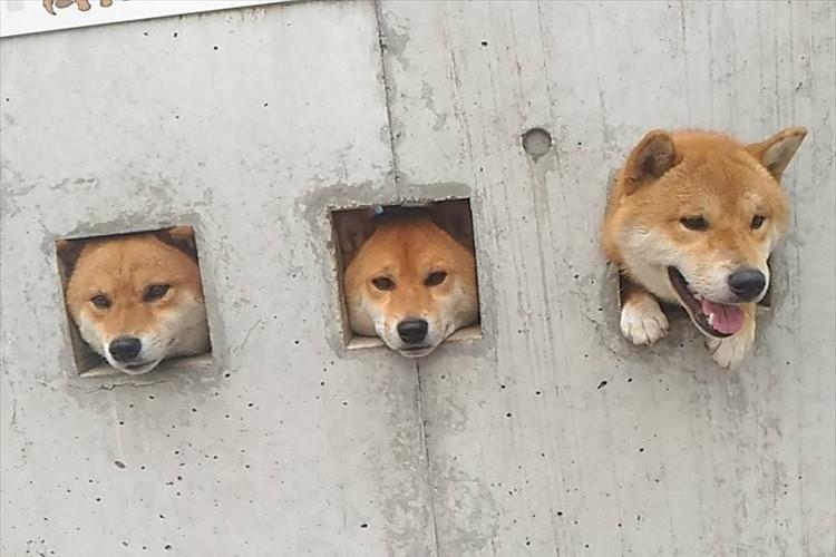 あらカワイイ♪歩いていたら急に出てくる!? 3匹の犬が顔を出すスポットが話題に!