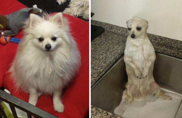 wet-dogs-before-after-bath-42-57a439cb7c0bb__700r