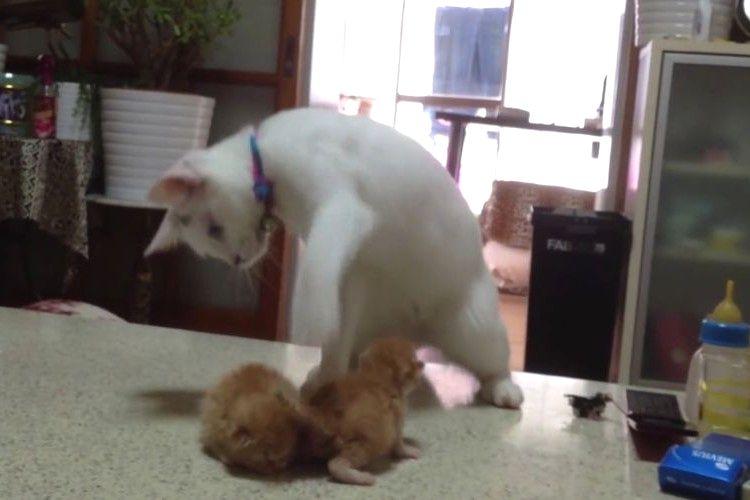 もう踊っちゃえ!赤ちゃんネコの接し方に困ってダンスしまくるニャンコがキュートすぎる!