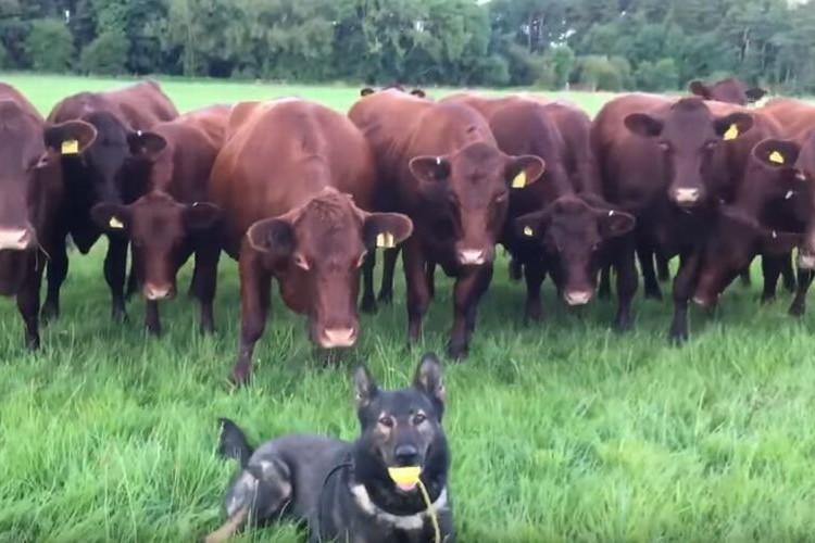 完全にビビってる!14頭の牛たちが1匹の犬に興味津々だけどちょっと怖い...