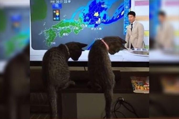 思わずシンクロ!並んで天気予報を見る2匹のニャンコたちの動画がかわゆい