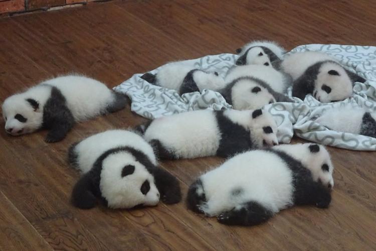 パ、パ、パ…パンダらけ!?寝転ぶパンダの赤ちゃんたちが可愛すぎて脳がとろける