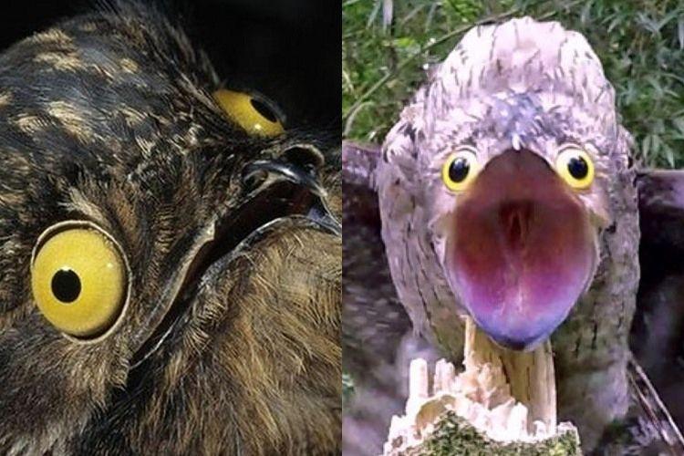 ギャッ、何コレ!水木キャラクターのような珍鳥『タチヨタカ』の表情がすごい(笑)