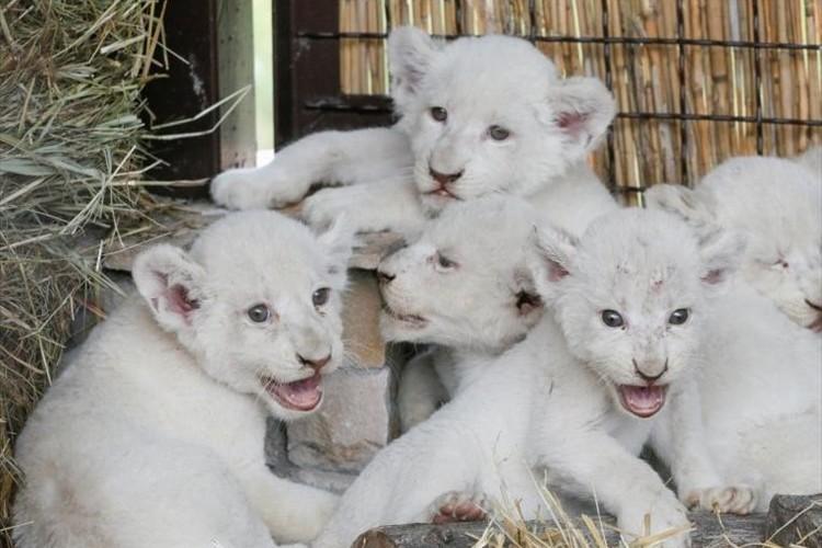 """生まれたばかりの""""5つ子のホワイトライオンの赤ちゃん""""を公開! ウクライナ"""