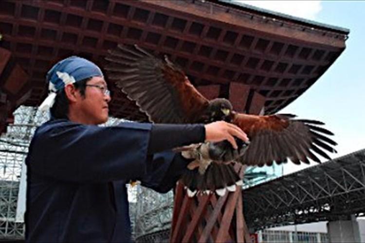 金沢駅前を鷹がパトロール!鷹匠によって鳩のふん害がゼロに…風情にも合うと観光客に人気!