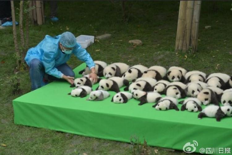 こんなの初めて!パンダの赤ちゃん23頭勢揃いでスタッフも大慌て