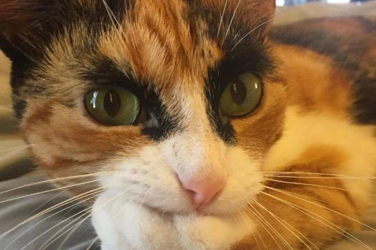 キリッ!ぶっとい眉毛の三毛猫リリーは1歳の女の子なんです