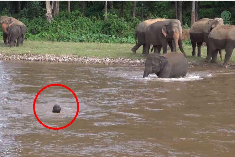 「大切な人を助けなきゃ…!」川にいるトレーナーを助けに歩き続けるゾウにほっこり