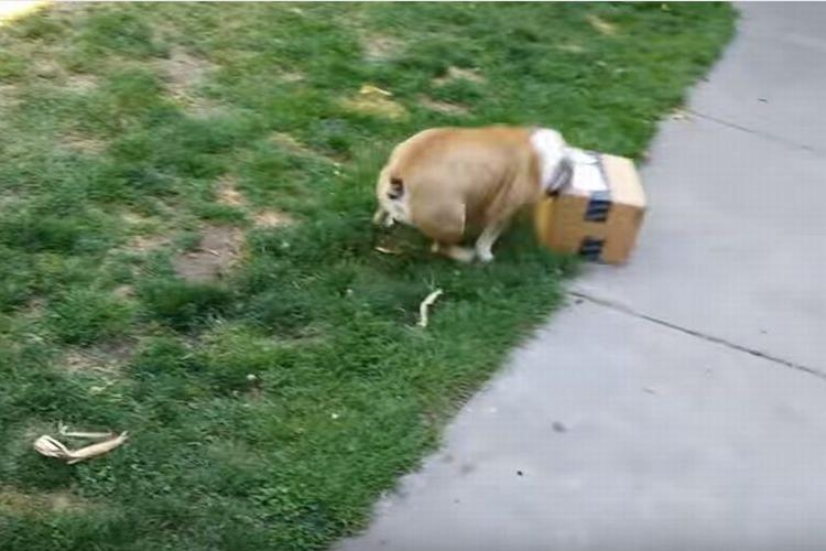 「早く!その箱開けて!」凄まじい勢いで破壊するブルドッグのリリーちゃん、その中身は