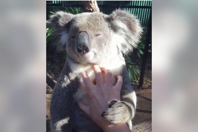 「もっともっと~!」マッサージの手を決して離さないコアラの姿になぜか癒される