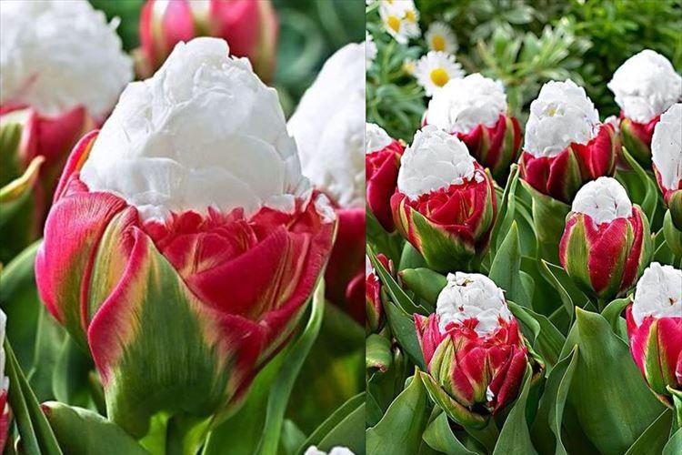 アイスクリームみたいなチューリップ! こんもりした蕾からふんわり咲く姿が素敵