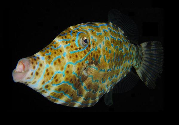 1280px-Scrawled_Filefish_R
