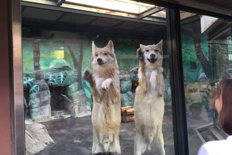もはやワンコ。天王寺動物園のオオカミが愛嬌ありすぎてかわいい