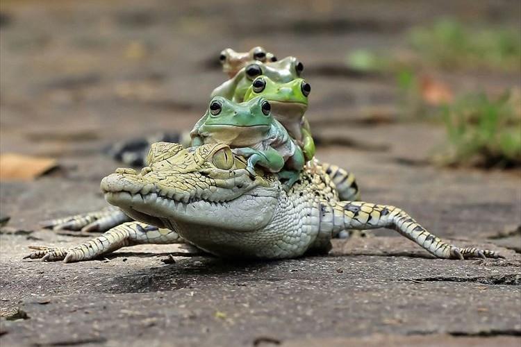 チューチュートレイン!?ワニとカエルの仲良さげな姿に思わずニヤける