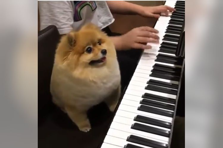 なにこの可愛さ!飼い主の隣で鍵盤を楽しそうに弾くポメラニアンに胸がキュンキュン!