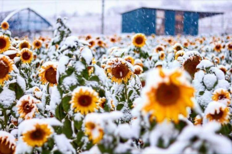 奇跡のコラボ…季節外れのひまわりに雪が降り積もる光景が幻想的