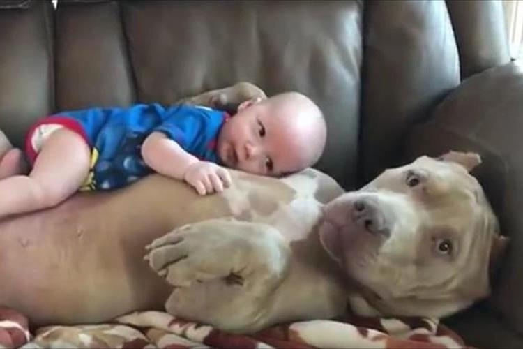 なんだかとっても気持ちよさそう♪ピットブルの厚い胸板で甘える赤ちゃん