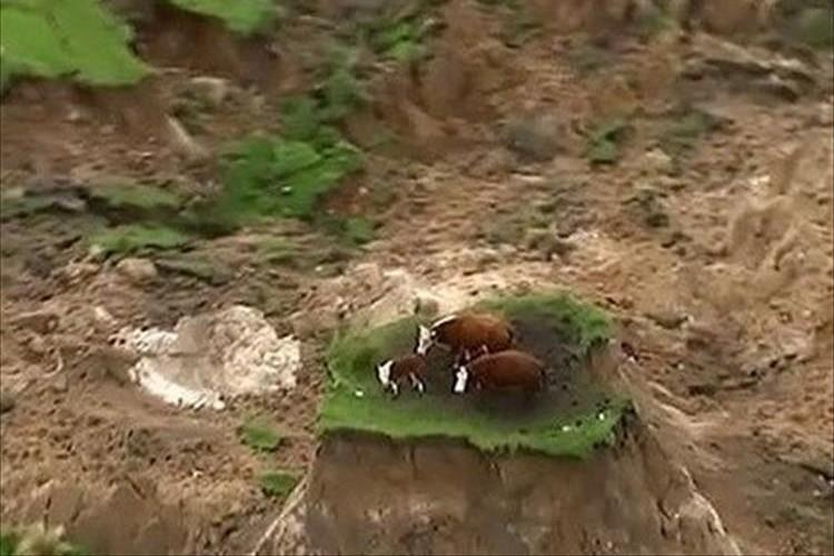 わずかに残った牧草地の一画…取り残された3頭の牛を無事に救出! ニュージーランド大地震