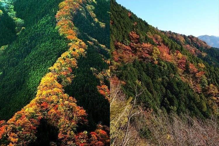 """竜が山を駆けのぼる""""昇り竜紅葉""""が話題! 花と山肌の常緑が美しいコントラスト"""