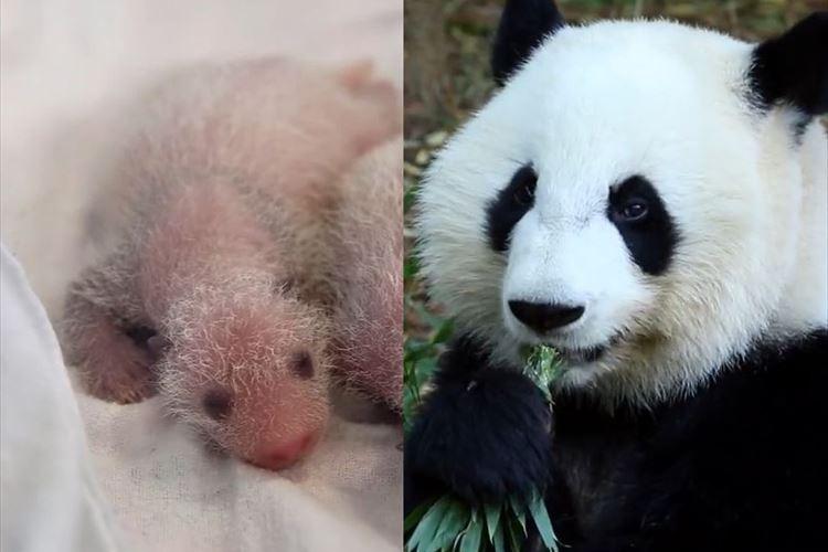 生まれたての赤ちゃんから立派なパンダへ…3年間の成長を記録した動画に感動