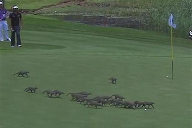 ゴルフ場に突然20匹のマングースが出現! ボールには触れない配慮でプレーに影響はなし