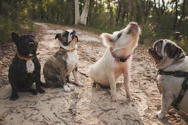 pig-puppy-olive-33r