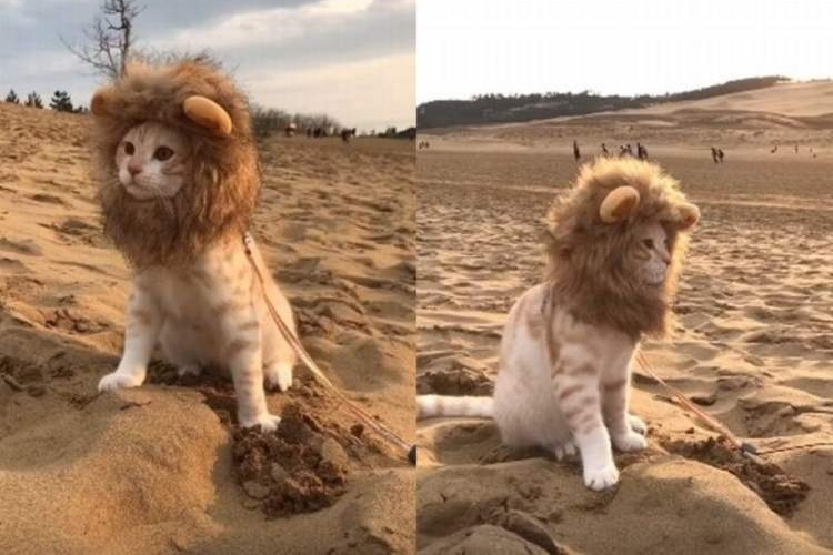 たてがみをなびかせ砂漠を歩くライオン?いや、かわいい猫だった