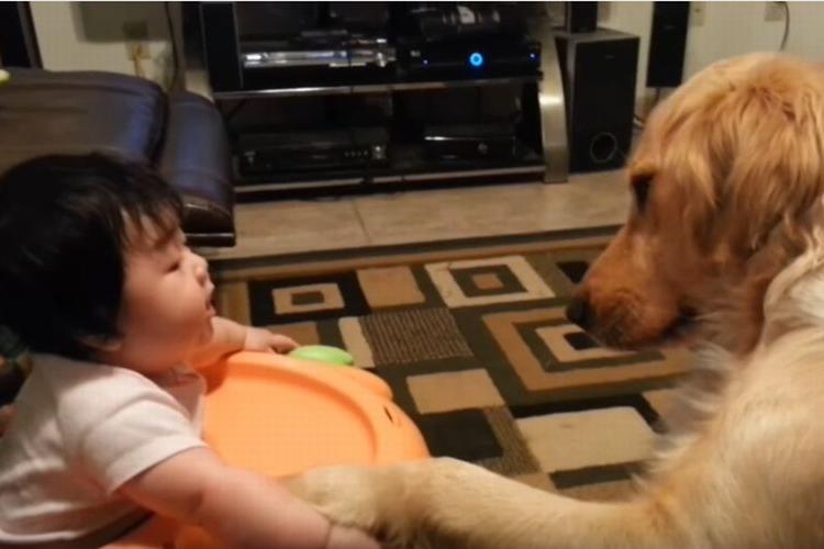 こうするんだよ♪赤ちゃんに握手を教えてあげる大きくて優しいゴールデンのお姉ちゃん