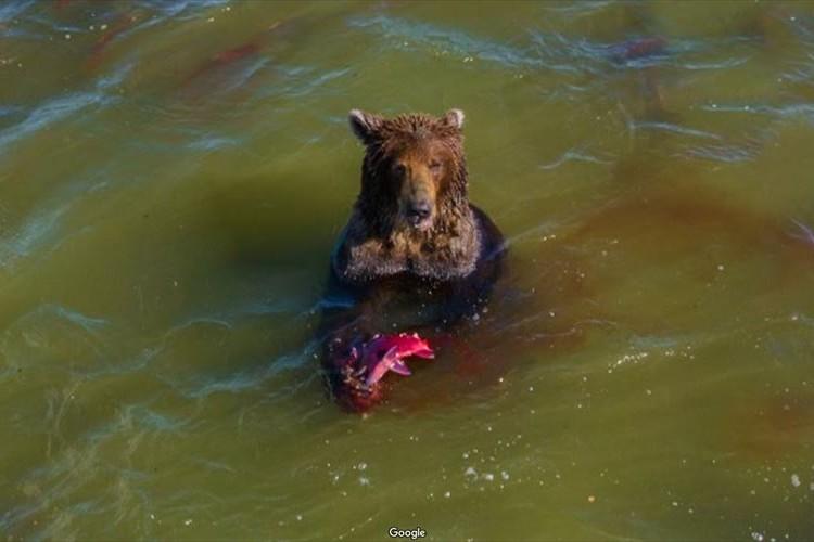 湖の中で野生のクマが鮭、獲ったどー!Googleストリートビューに貴重な瞬間が写っていると話題に