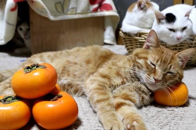 ほのぼのとした世界…柿を枕にして眠る猫たちがニャンとも可愛らしい♪