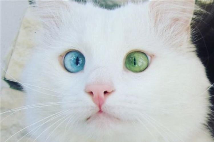 きょとんとした表情がたまらない♪ オッドアイの猫AIsoくんのインスタが大人気!