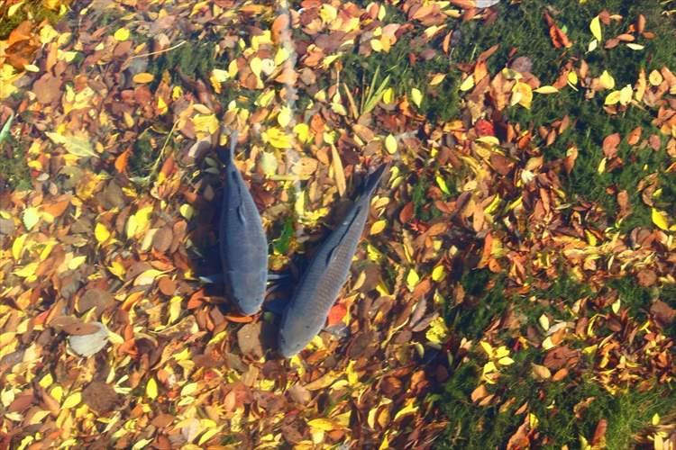 """川の水の透明感が凄すぎて…まるで""""鯉が落ち葉の上に居るように見える"""""""