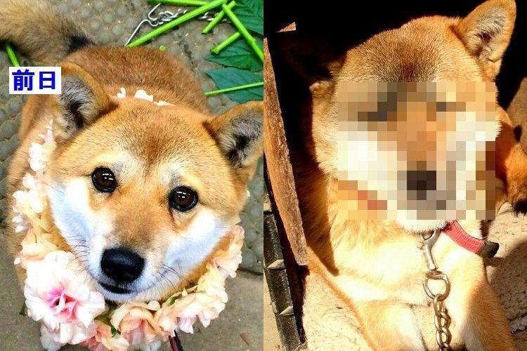 一体何があった…(笑)超絶可愛かったワンコが一日にして別人ならぬ別犬に