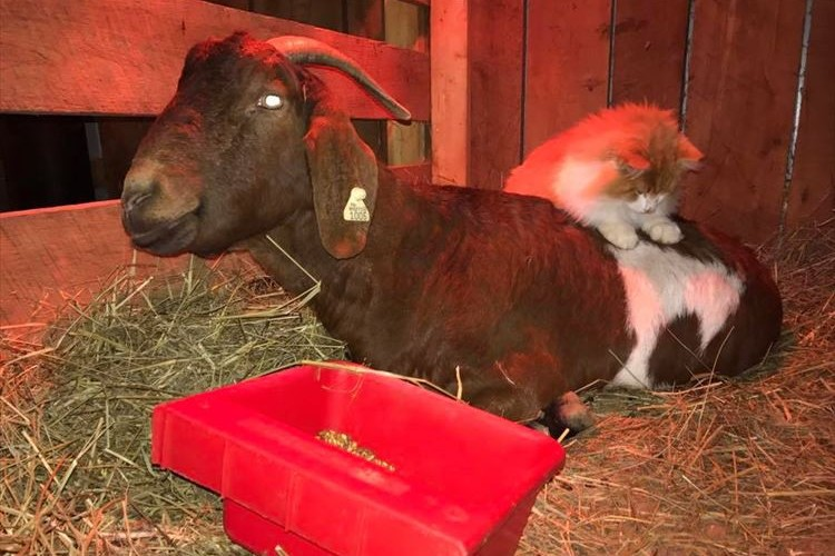 「元気な子を産むんだよ。」ヤギを介抱する猫の助産師さんが献身的