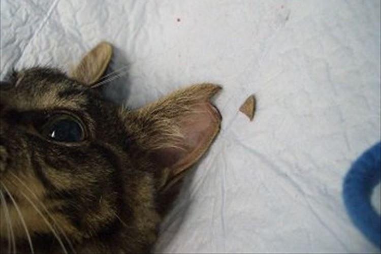 知ってほしい。耳の先端に切れ込みがあるネコは避妊・去勢手術済みという事実