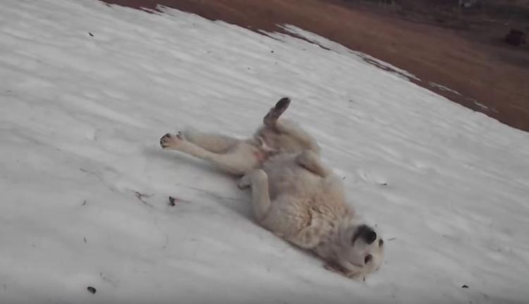 ワンコが雪の上を滑りまくる遊びを覚えた!中毒になってもうやめられない
