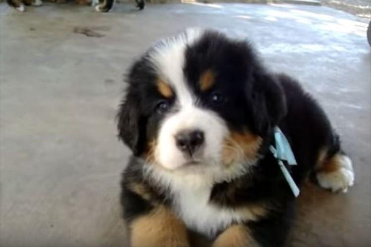 心優しきアルプスの山岳犬バーニーズの子犬たちが可愛すぎる