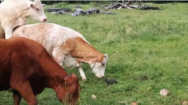 cow_02_640