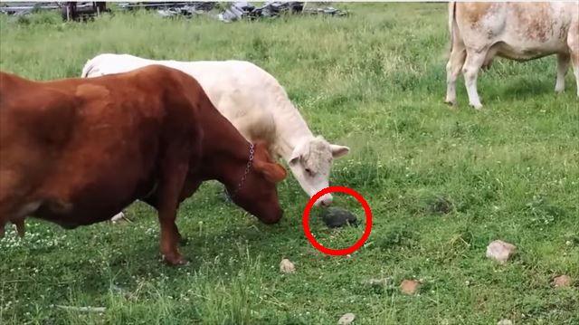 cow_top
