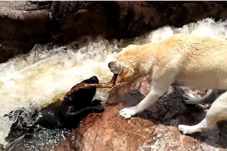 川の急流で大切な仲間が溺れてる…!とっさの判断で助けるワンコの行動がカッコ良すぎ!