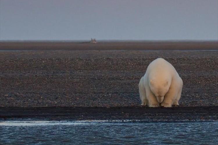 雪も氷もない世界…悲しげなホッキョクグマをとらえた1枚の写真が話題に