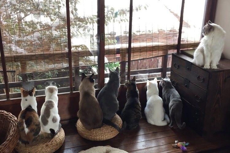 """京都西陣 築百年の""""町家猫カフェ""""から雪をながめる猫たち…ニャンともカワイイと話題に!"""